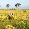 Mentan: Serap Kedelai Petani, Utamakan Beli Lokal