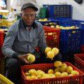 Peduli Hasil Panen Petani, Kementan Fasilitasi Edarkan Lemon ke Pasar Jabodetabek Hingga Bali
